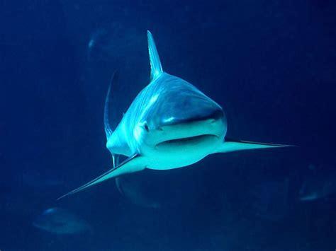 Imágenes del mundo animal: Tiburones