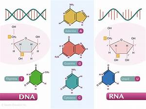 Dna Vs Rna  Differences And Similarities