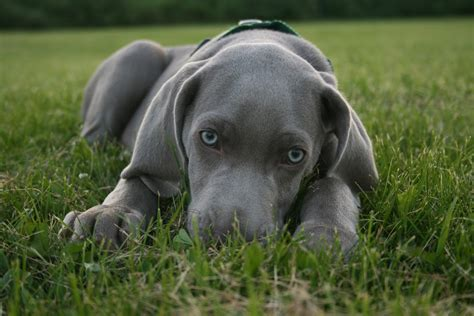 do haired weimaraners shed saved by dogs dogs weimaraner