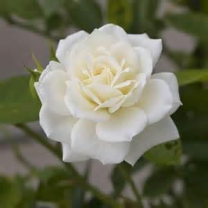 bulk carnations bulk roses bulk flowers cymbidium roses dendrobium