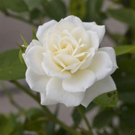 bulk roses bulk flowers cymbidium roses dendrobium