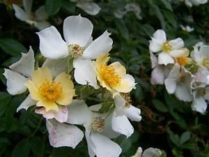 Rosier Grimpant Blanc : couleur changeante giverny news ~ Premium-room.com Idées de Décoration