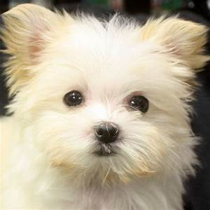 #morkie puppy! I want.   morkie1.com   Pinterest