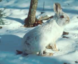 Snowshoe Hare Taiga Biome Animal