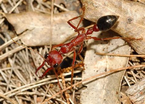 giant brown bull ant myrmecia pyriformis  myrmecia