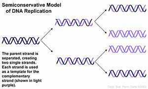6 dna semi conservative replication animation in cell With semiconservative replication involves a template what is the template