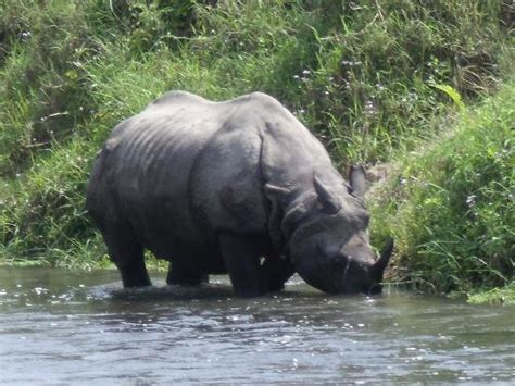 rhino picture  jungle safari lodge sauraha tripadvisor