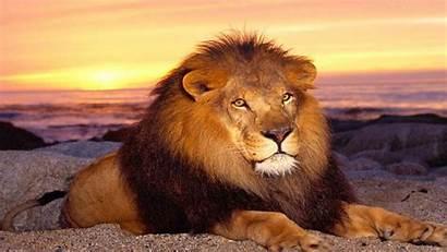 Lion African Wallpapers Dangrous Danger Angry Dangerous