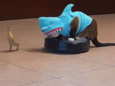 max  roomba cat takes  bite   shark week