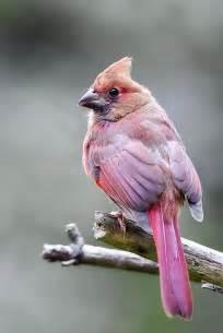 Pink Cardinal Bird