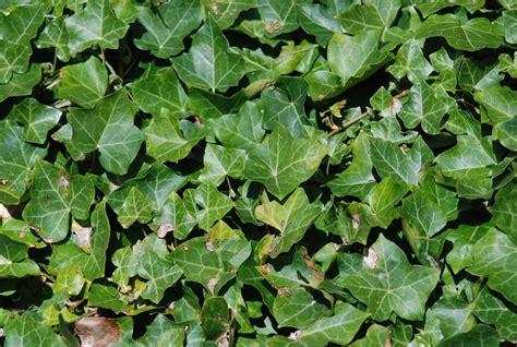 vine plants identify vines by leaves newhairstylesformen2014 com
