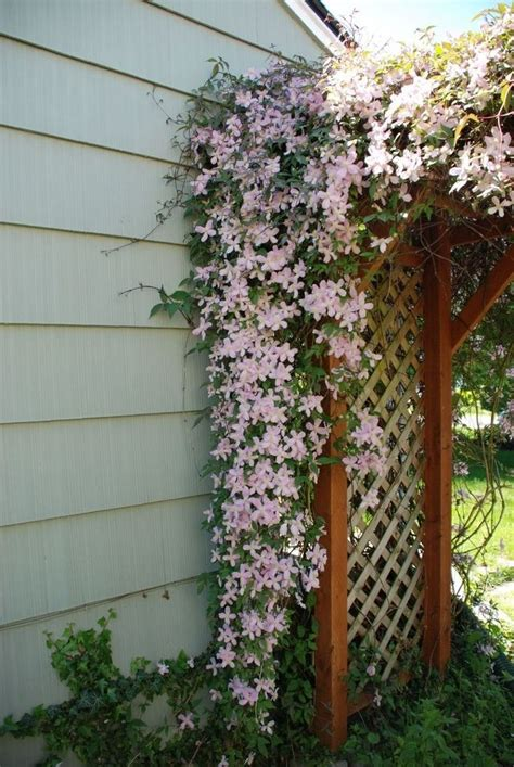 Clematis Trellis by Clematis Trellis I Like The Idea Of A Lush Climbing