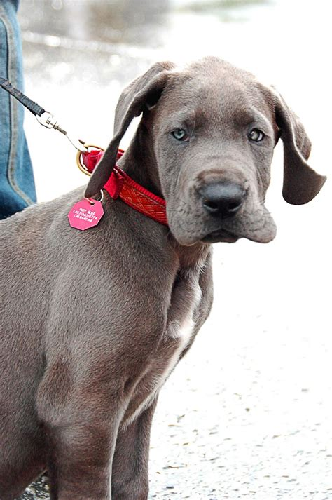 cute dogs blue great danes