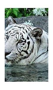 Rare white tiger dies at the Cincinnati Zoo
