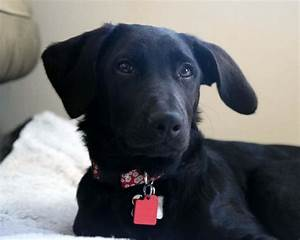 Black Lab Terrier Mix | www.imgkid.com - The Image Kid Has It!