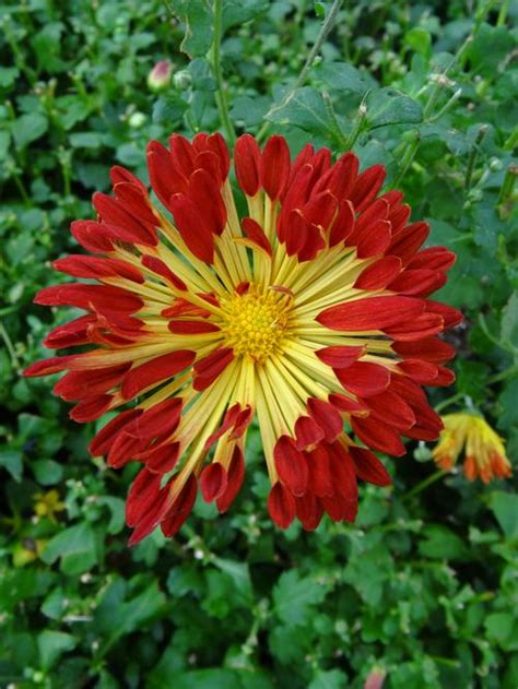 when to plant mums hardy mums pictures to pin on pinterest pinsdaddy