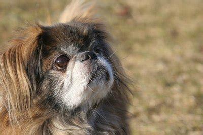information   chihuahua pekingese mix pets