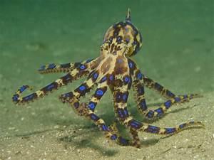 blue ringed octopus on Tumblr
