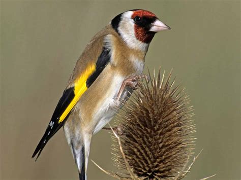 how to attract goldfinches to your garden saga