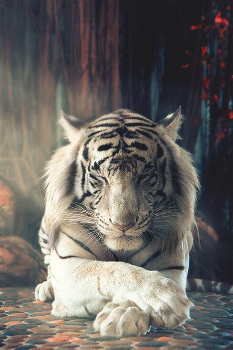 amazing animated white tiger gif images   animations