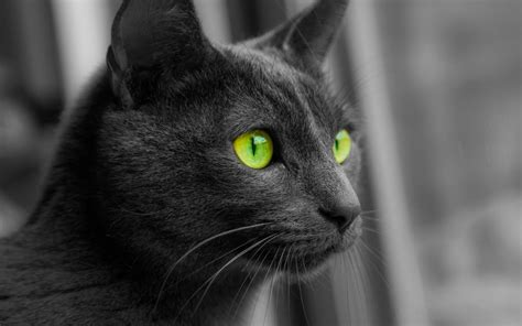 cat animals monochrome selective coloring green eyes