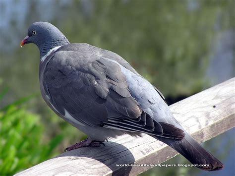 beautiful wallpapers pigeon wallpapers