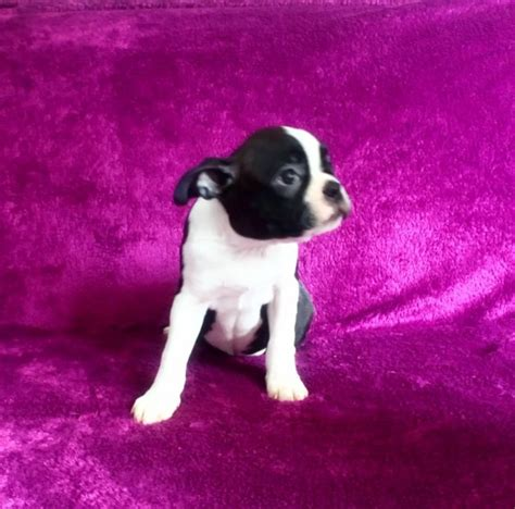 Boston Terrier Puppies Only  Left Saltburn By The Sea