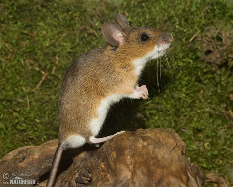 show me pictures of mice myšice lesn 237 naturfoto cz