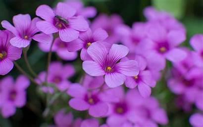Flowers Wallpapers Purple Oxalis Desktop Plants Petals