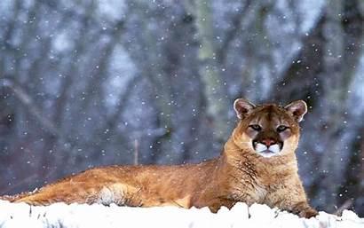 Lion Mountain Cub Puma Desktop Wallpapers Kb