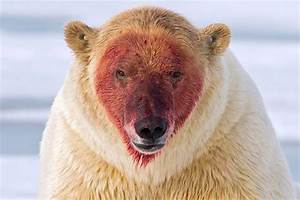 What A Messy Eater  Polar Bear Left Red
