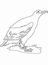 Albatross Coloring Pages Bird Birds Printable Recommended Coloringbay Template 658px 16kb sketch template