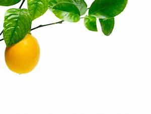 Dünger Für Zitronenbaum : olivenbaum kaufen tojas mediterraner baumhandel sortiment zitronenbaum verkauf pflege ~ Watch28wear.com Haus und Dekorationen