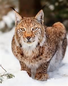 Beautiful Lynx