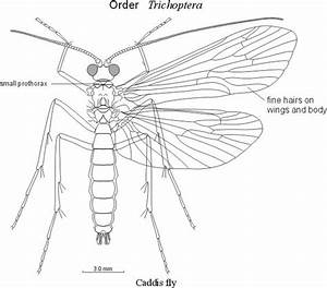 This Is A Caddis Fly Diagram  Caddis Flies Are Rare On