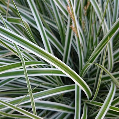 ornamental grass plants southern living plant collection 2 5 qt evercolor everest carex live evergreen grass white