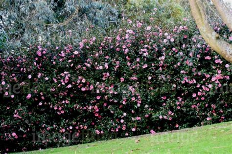 flowering hedge 1000 images about hedges on pinterest shrubs for