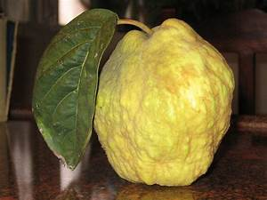 Quince - Simple English Wikipedia, the free encyclopedia