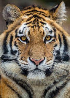 Pin Tiger Tattoo