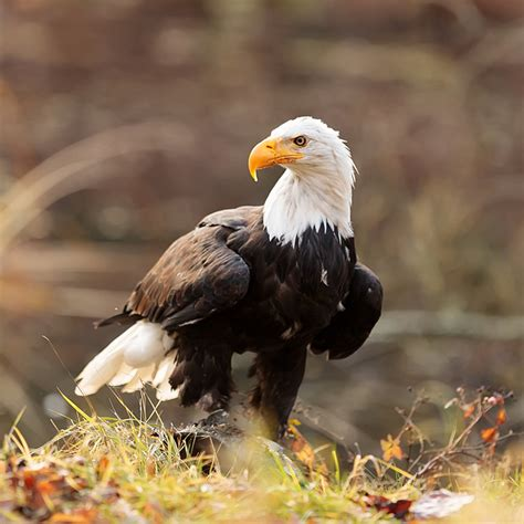 bald eagle wasnt supposed    national bird