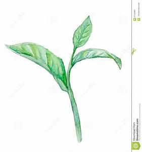 Green Tea Leaf , Watercolor Stock Illustration - Image ...