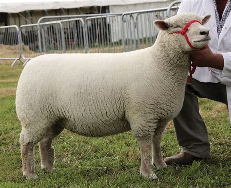Southdown Leads Dorset Sheep Rings