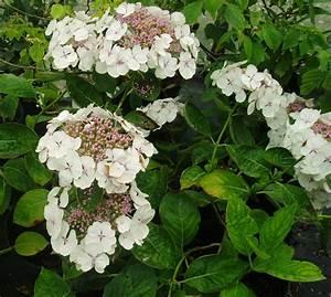 Hydrangea Macrophylla Winterhart : hydrangea macrophylla lanarth white botanicaplantnursery ~ Michelbontemps.com Haus und Dekorationen