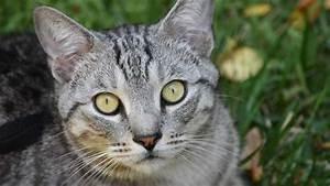 Light Grey Kitten Pixie Bob Information Characteristics Facts Names