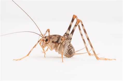 Which States Have Basements invasive camel crickets may take over in u s homes nbc news