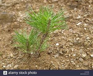 Unterschied Pinie Kiefer : young pine pinus junge kiefer stock photo royalty free image 49595210 alamy ~ Orissabook.com Haus und Dekorationen