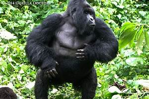 23 best images about Silverbacks on Pinterest   Crater ...