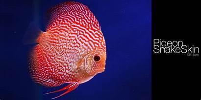 Fish Discus Wallpapers Pantalla Px Animals Scorpions