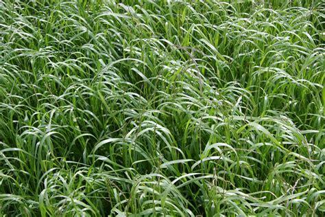 annual grass annual ryegrass lolium multiflorum ressearch weed control advice