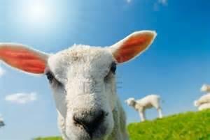 Funny Lamb